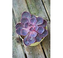 Purple Echeveria Photographic Print