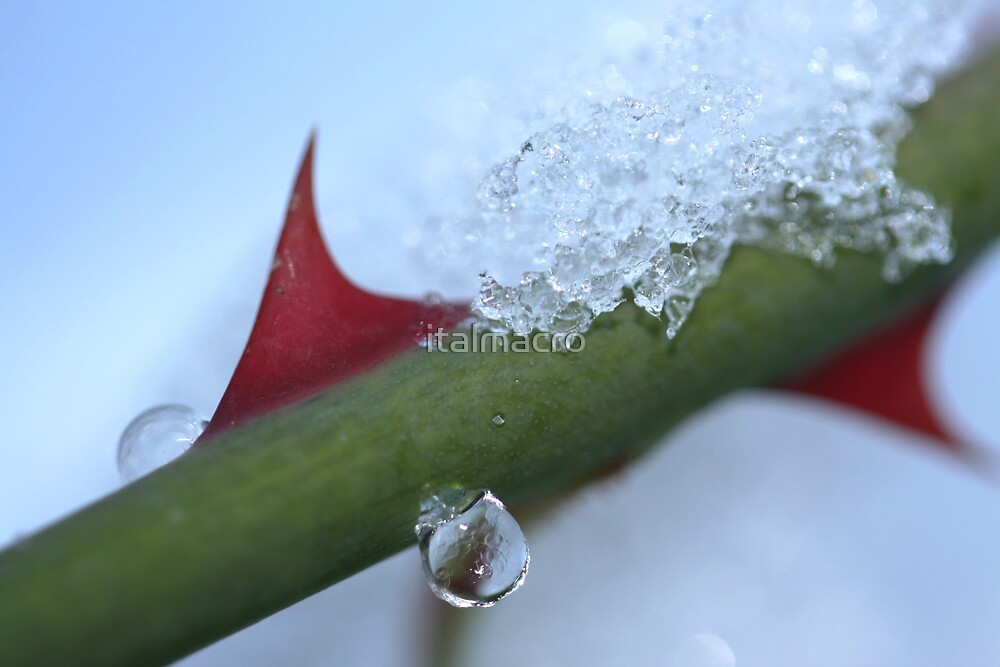 rose thorns on ice by italmacro