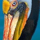Brown Pelican by Eyal Nahmias