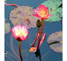 Pond Lillies by Madeline M  Allen