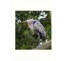 Great Blue Heron Perched on a Bridge Art Print