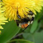 Pollen Gatherer by Martha Medford