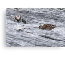 White Water Mallard Canvas Print