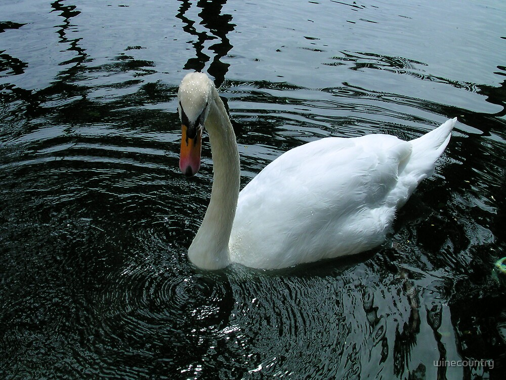 Swan by winecountry