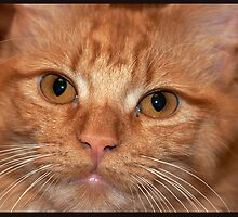 Ginger Kitten by LadySnapper