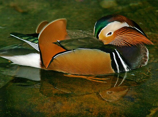 Sleepy Mandarin Duck by Jan Cartwright
