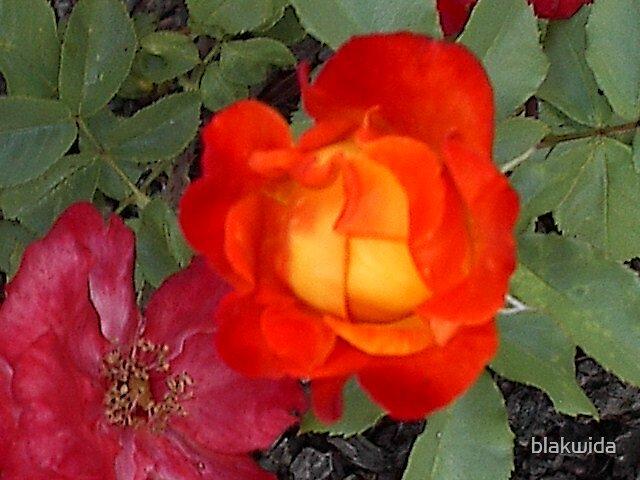 flaming rose by blakwida