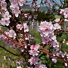 Almond blossoms by GOSIA GRZYBEK