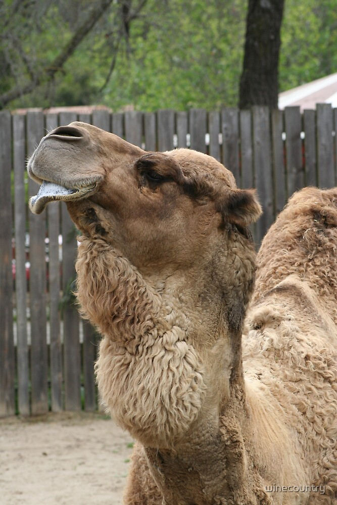 Camel Lip by winecountry