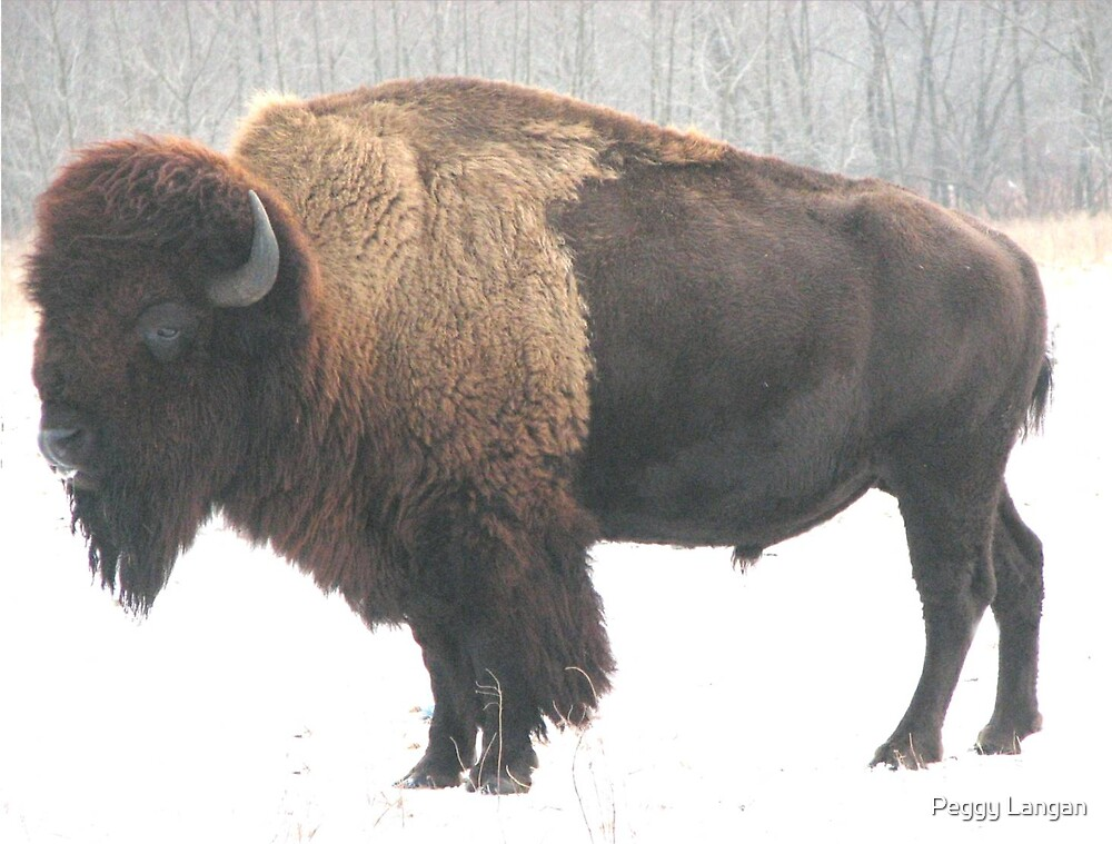 Buffalo Feeling the First Snow by Peggy Langan