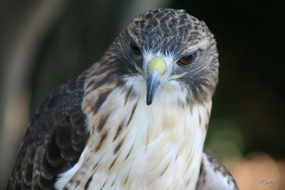 American Hawk by organic