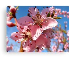 Peach blossoms Canvas Print