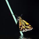 Midnight Flutter in pastels by Lesley Smitheringale