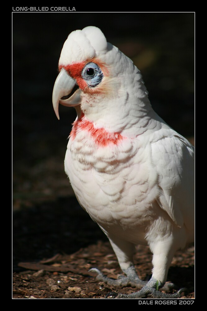 Long Billed Corella by dale rogers