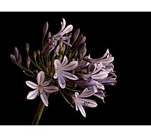 Blue Agapanthus Photographic Print