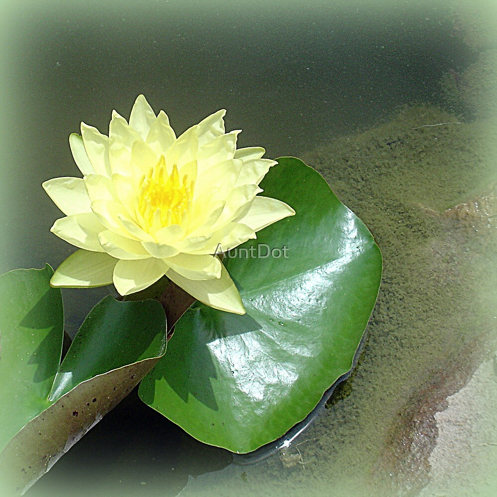Sun Kissed Water Lily by AuntDot