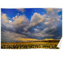 Sunflowers field under the storm light Poster
