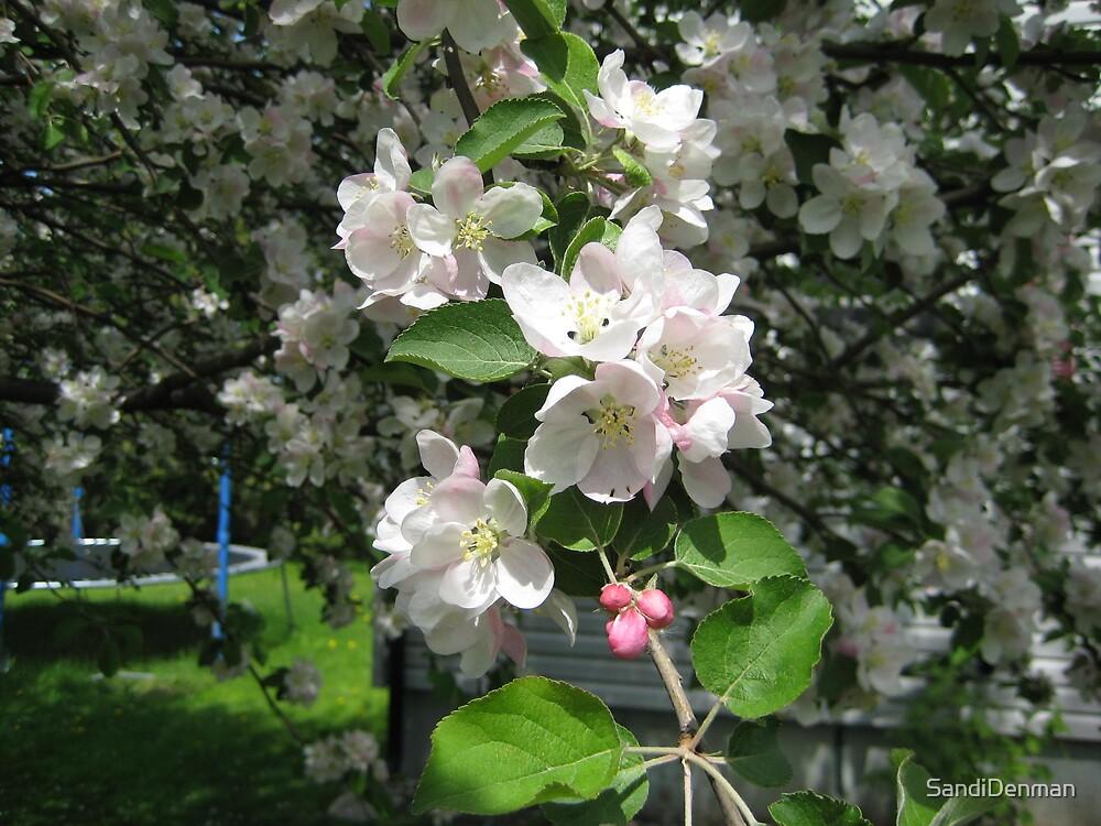 Apple Blossom by SandiDenman