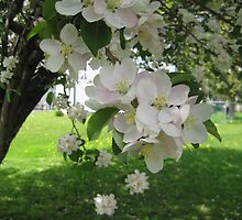 Apple Blossoms by SandiDenman