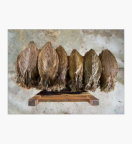 Tobacco Leaves on Chair Photographic Print