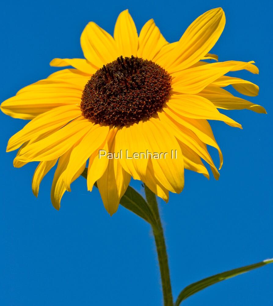 Sun Flower by Paul Lenharr II