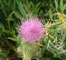 Thistle Flower by silasmom