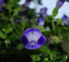 Purple by mirshellman