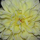 Dinner Plate Dahlia by elisab