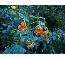 JEWELL WEED IN THE EARLY MORNING DEW Photographic Print