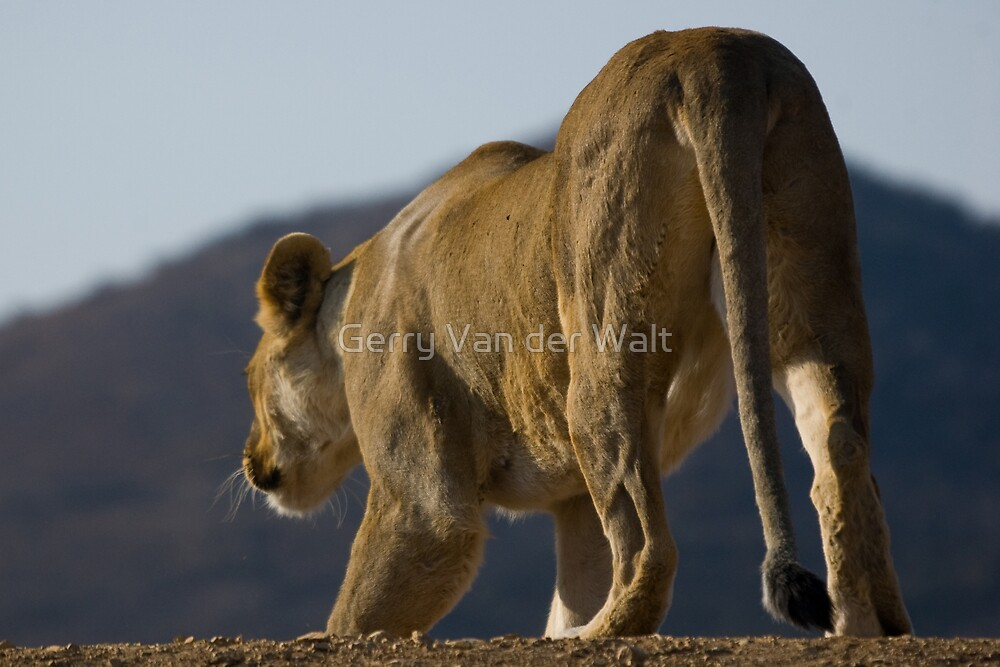 Female Lion Hunting by Gerry Van der Walt