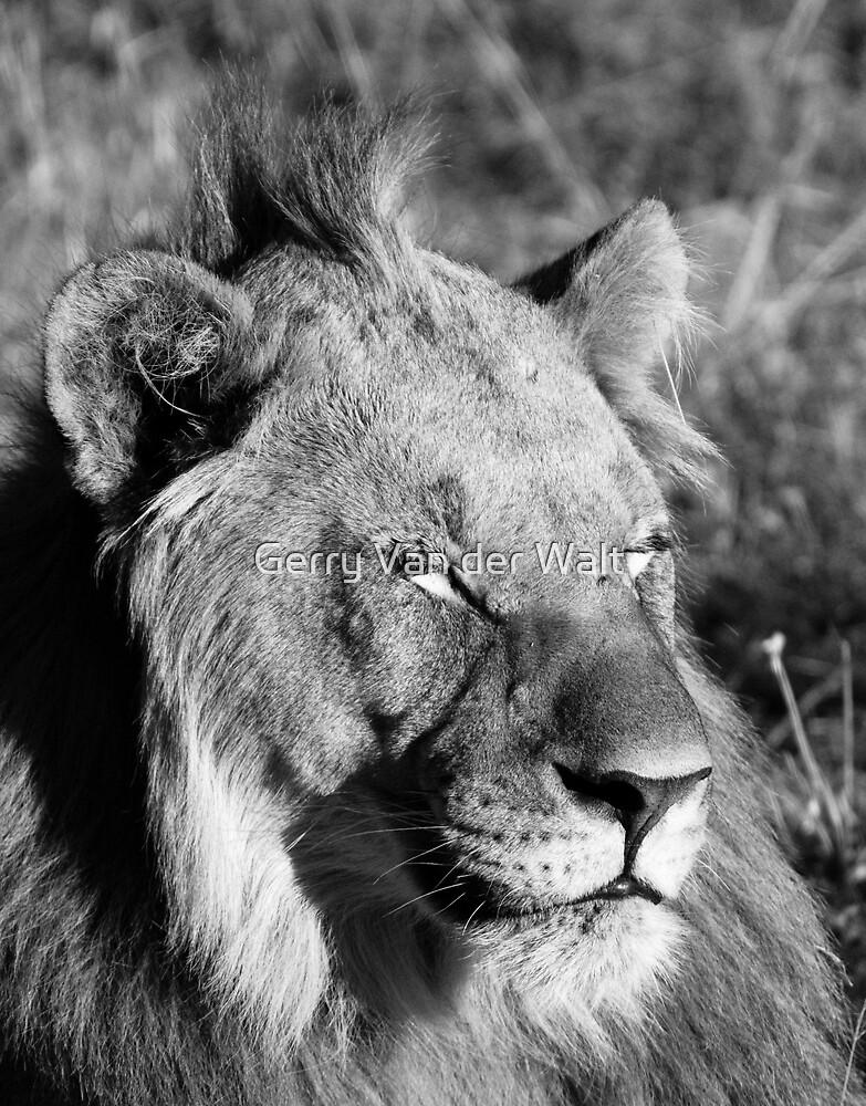 Sleeping Lion by Gerry Van der Walt
