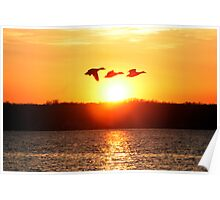Malard Duck Sunset Poster