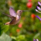 Female Allen's Hummingbird by Mike Herdering