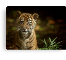 Baby Tiger Portrait III Canvas Print