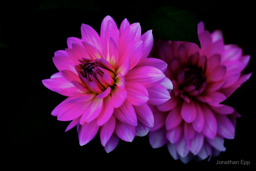 Pink Flowers by Jonathan Epp