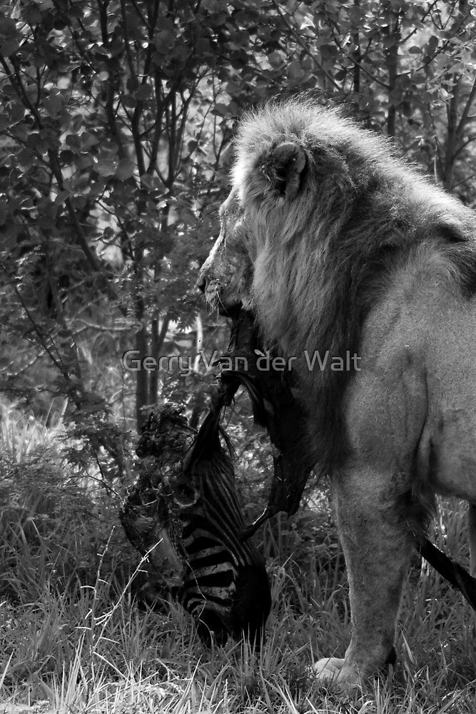 Lion Kill by Gerry Van der Walt