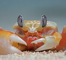 Ghost crab by blepharopsis