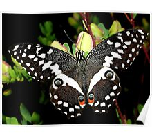 Citrus Swallowtail Poster