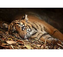 Baby Tiger - Model Photographic Print