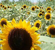 Field of Sunflowers by nancy dixon