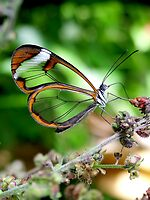 Glasswing Butterfly by Macky