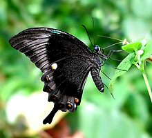 Peacock Swallowtail by Macky