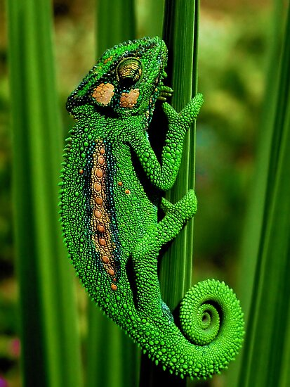 Cape Dwarf Chameleon II by Macky