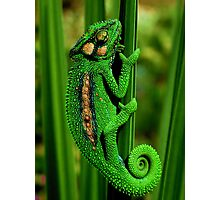 Cape Dwarf Chameleon II Photographic Print