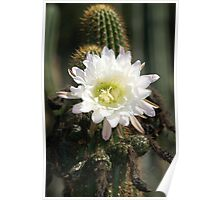 White Cactus Bloom Poster