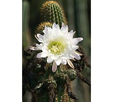 White Cactus Bloom Photographic Print