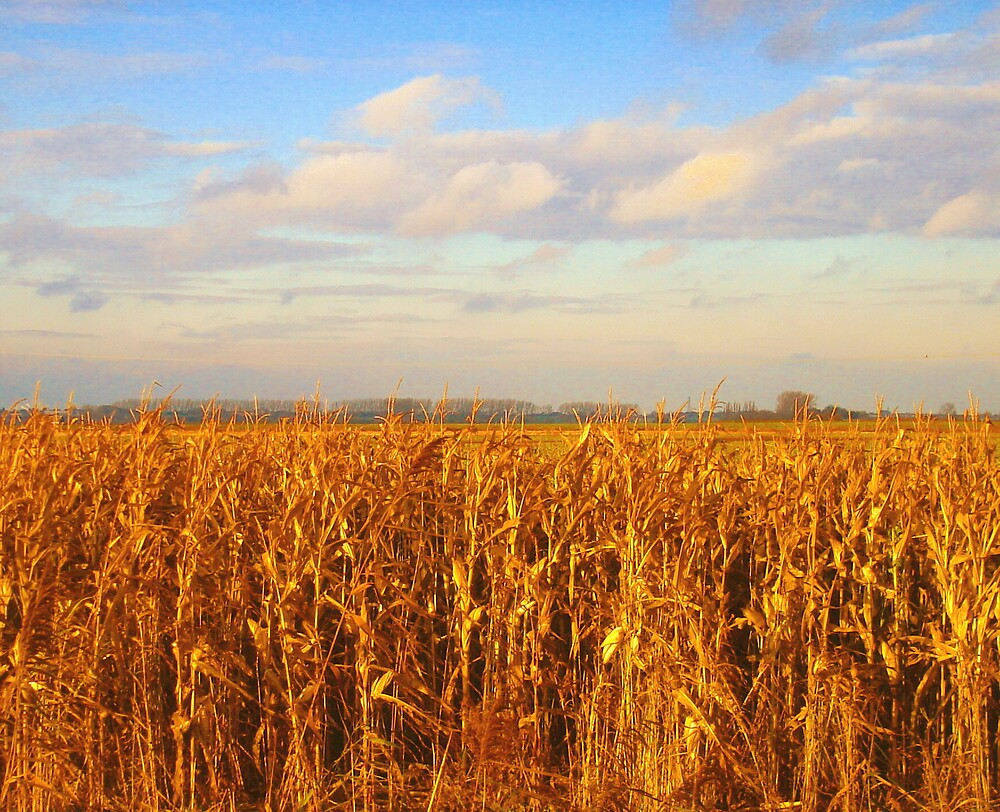 Golden Corn  ... by Kate Towers IPA