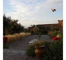 Dove in Flight Photographic Print