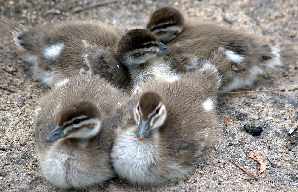 New Life - - Ducklings huddling together by lettie1957