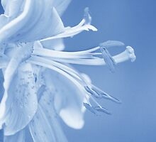 Lily in Blue by Laurie Minor